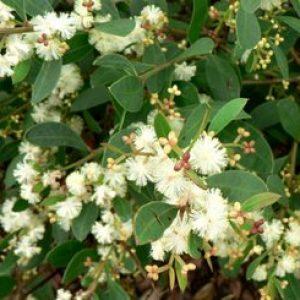 acacia_myrtifolia