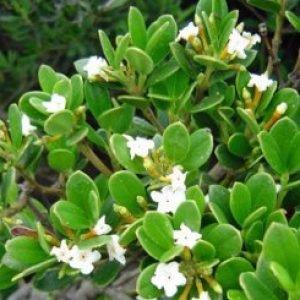 alyxia_buxifolia