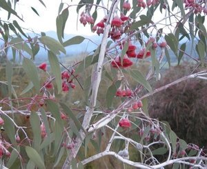 eucalyptus_caesia