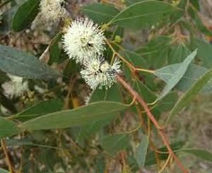 eucalyptus_decipiens