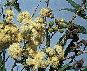 eucalyptus_gomphocephala