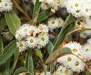 EUCALYPTUS MARGINATA (JARRAH) IN FLOWER