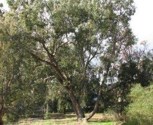 eucalyptus_patens