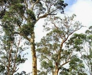eucalyptus_wandoo