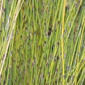 Grasses/Strappy