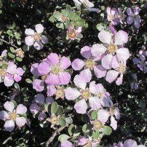 leptospermum_sericeum