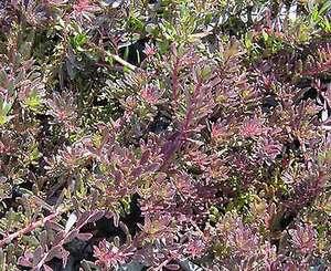 myoporum_purpurea
