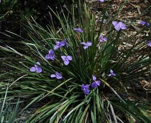 patersonia_occidentalis