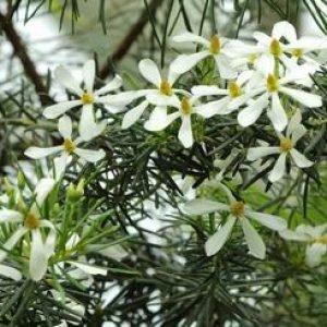 ricinocarpus_tuberculatus