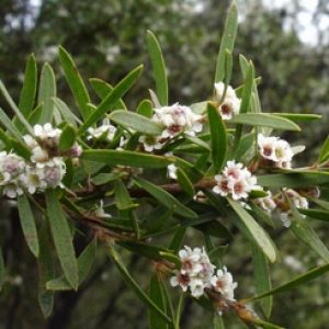 taxandria_linearifolia